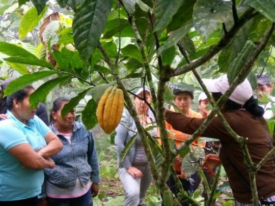 Cacao renovation on field Training
